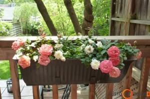 Vėlgi rožės